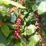 Tabemonoya's organic coffee is being ready