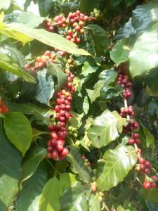 coffee bean in Tabemonoya